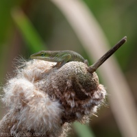 Anole on Cattail