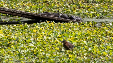 Alligator on Ramp, Green Heron Out of Focus