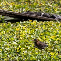 Green Heron, Alligator, Swamp Greens