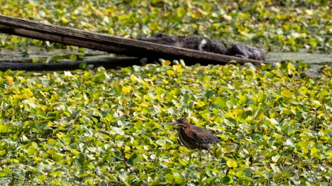 Green Heron, Alligator on Ramp Behind
