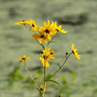 Swamp Sunflowers