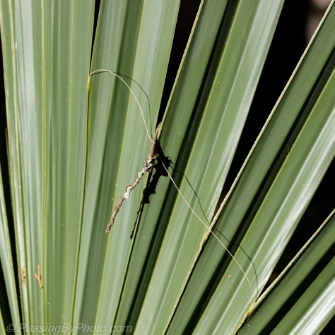 Twig Stuck in Palmetto Fronds