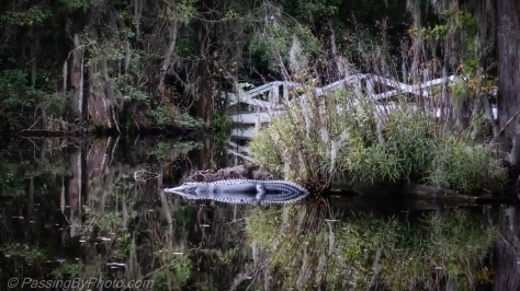 Alligator and Reflection