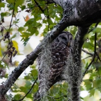 Barred Owl, Tree Frame
