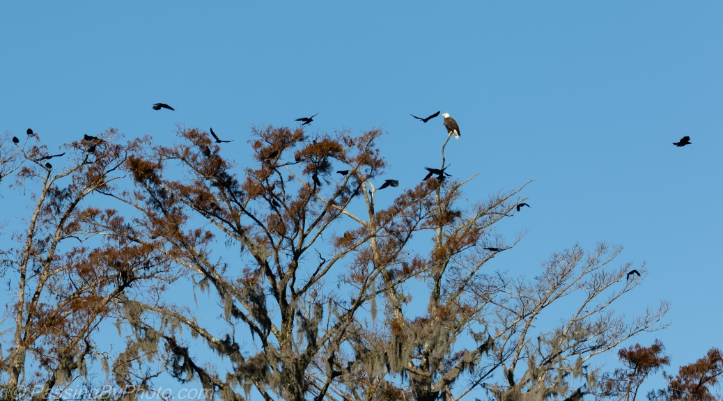 Bald Eagle and Crows
