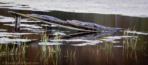 Two Alligators on Ramp
