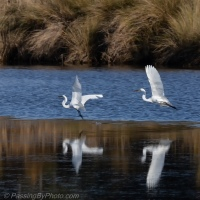 Great Egret Chase