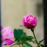 November Thriving Roses