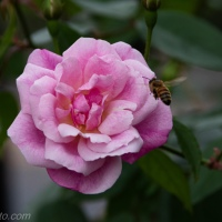 Pink Rose and Bee