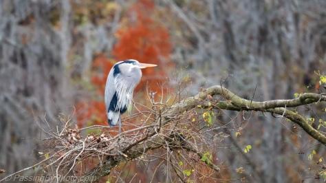 Great Blue Heron, Fall Blaze