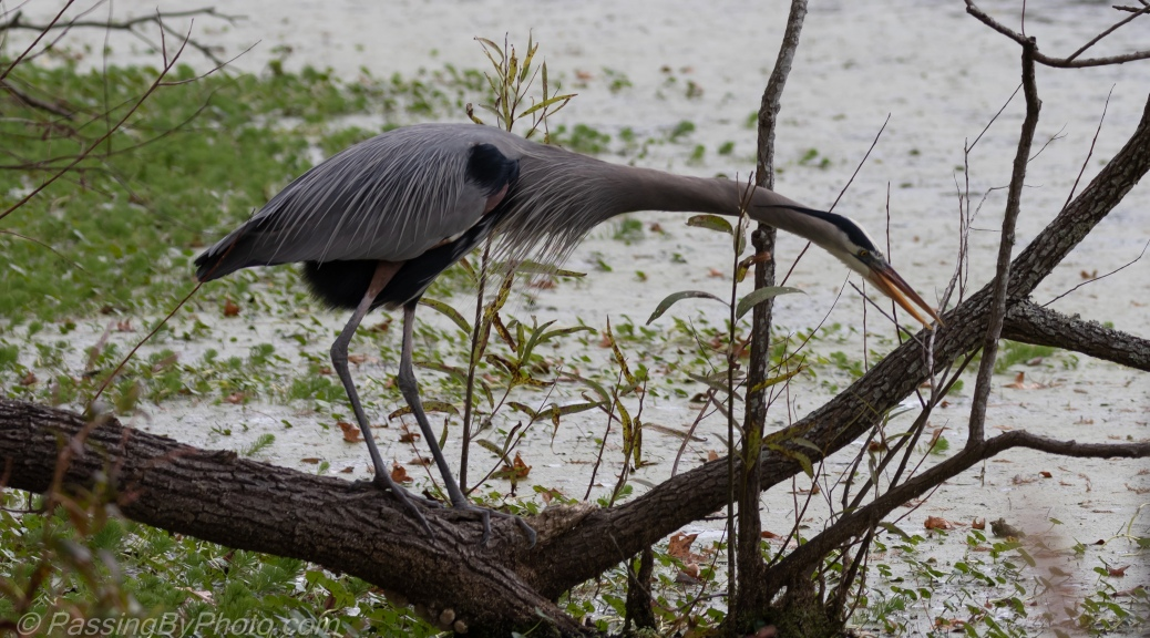 Great Blue Heron Looking for Stick