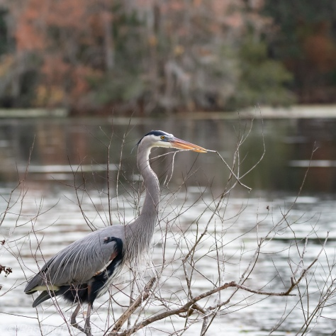 Great Blue Heron Stick Gathering
