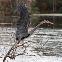 Great Blue Herons: Nesting Season Has Begun