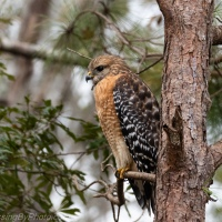 Red-shouldered Hawk, Two Views
