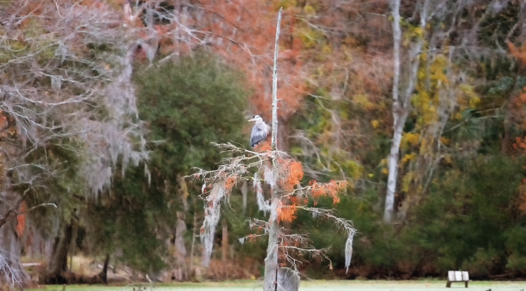Great Blue Heron in Skinny Tree
