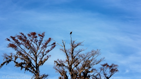Bald Eagle in Tree Tops