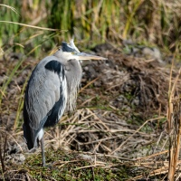 Great Blue Heron, Wind at His Back