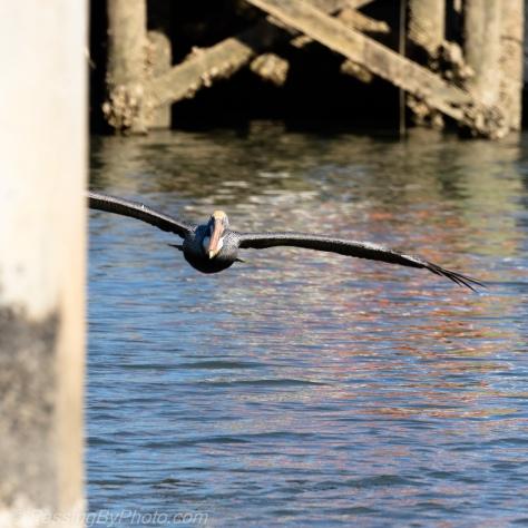 Brown Pelican Flying In