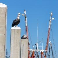 Pelicans with Shrimp Boat Rigging