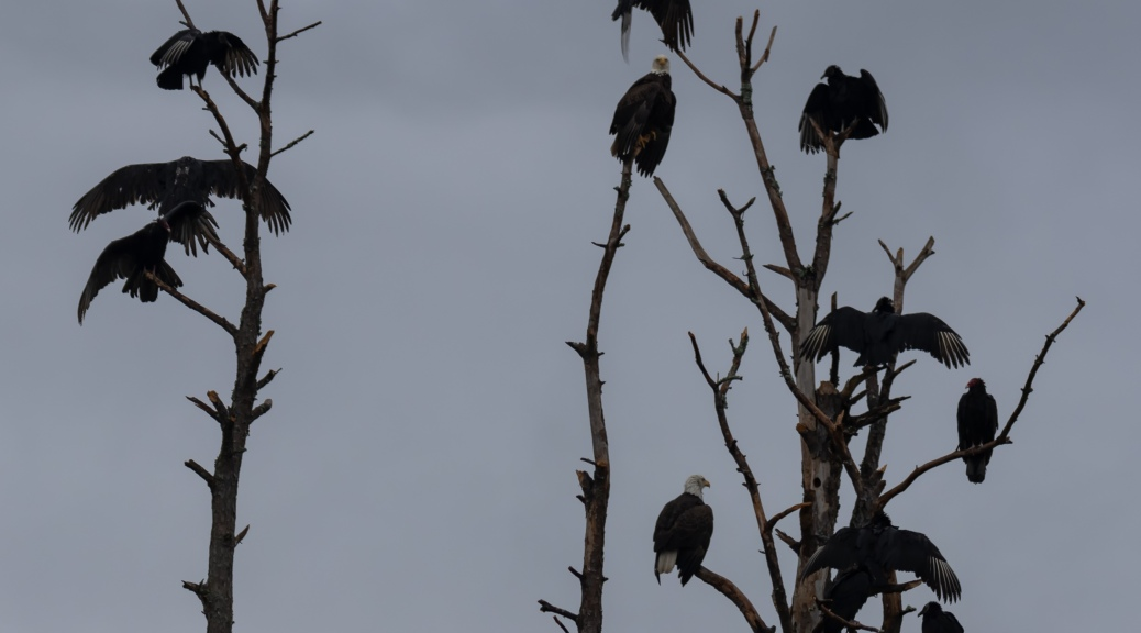 Eagles and Vultures in Dead Tree