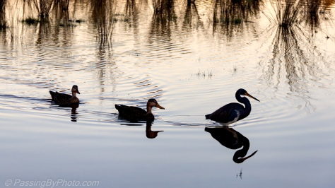 Tricolored Heron and Mottled Duck Pair