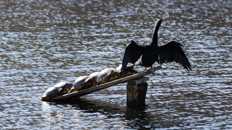 Anhinga and Yellow-bellied Sliders