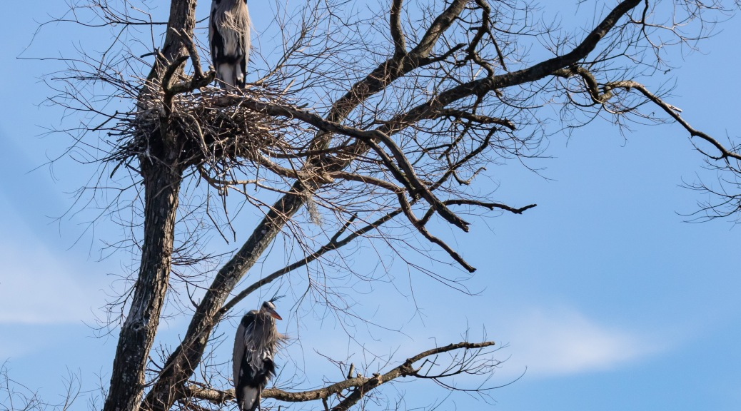 Two Great Blue Heron Nests