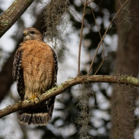 Red-shouldered Hawk Day, Sighting 1