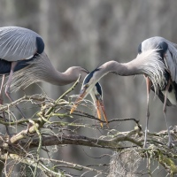 Great Blue Herons, Nesting