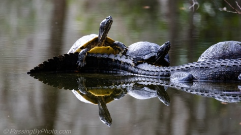 Yellow-bellied Sliders