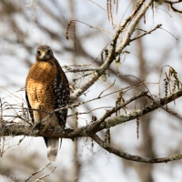 Red-shouldered Hawk Day, Sighting 2