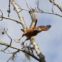 Red-shouldered Hawk Day, Sighting 3