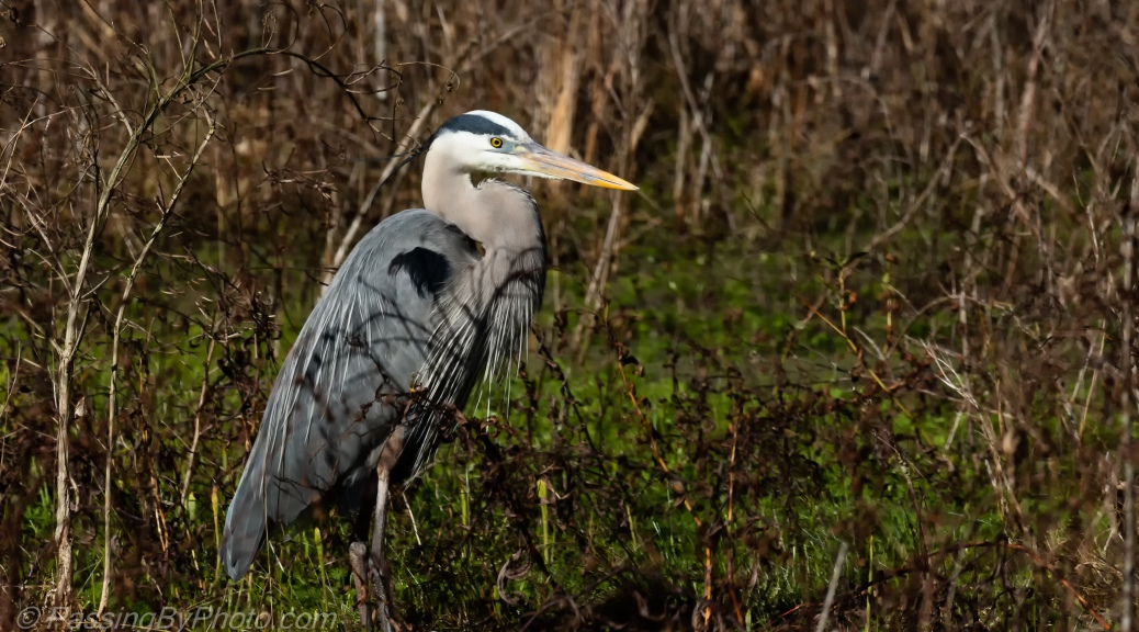 Great Blue Heron in Grass