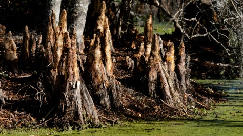 Cypress Knees with Bark Stripped Off
