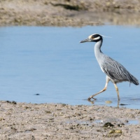 Strutting Yellow-crowned Night-Heron