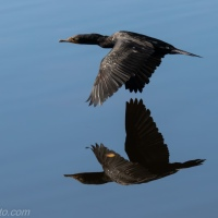 Cormorant and Reflection