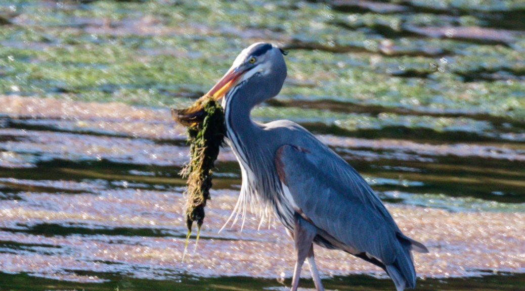 Great Blue Heron with Something