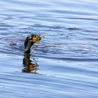 Cormorant on the Hunt