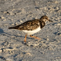 At The Beach: Ruddy Turnstone