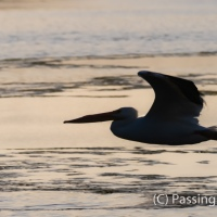 White Pelican Flying Low