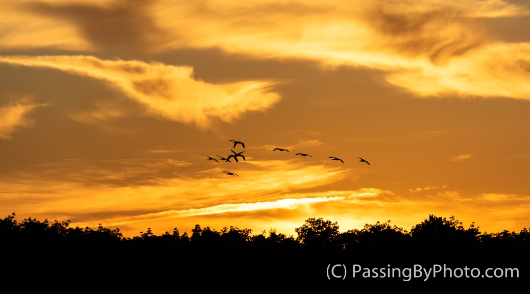 Flock of Ibis at Sundown
