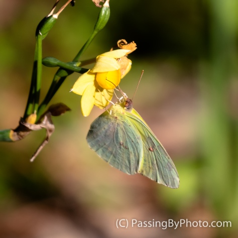 Cloudless Sulfur Butterfly on Jonquil