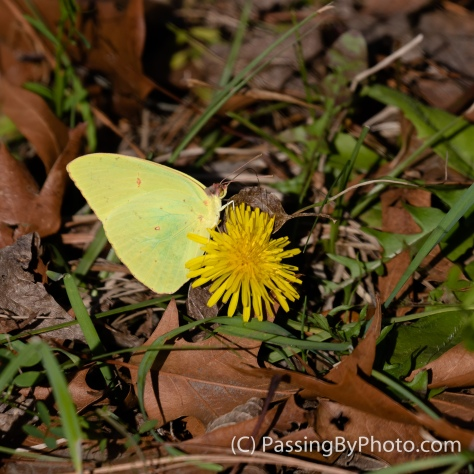 Cloudless Sulfur Butterfly on Dandelion