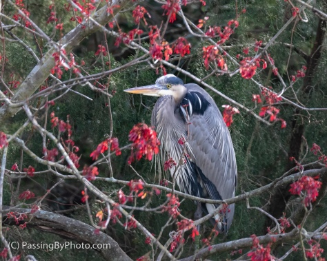 Great Blue Heron in Maple Tree