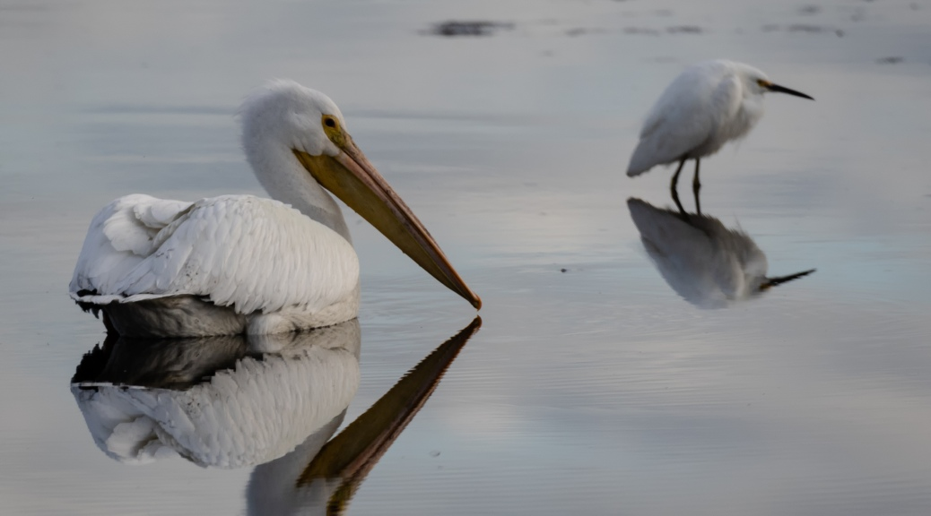 American White Pelican and Snowy Egretnd