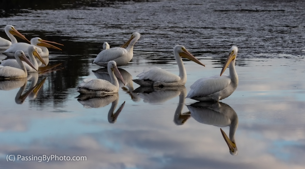 American White Pelicans with Reflections