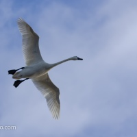 Tundra Swans Flying In