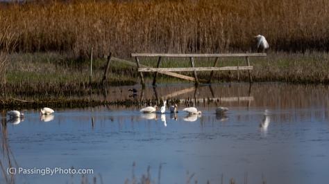 Great Egret, Snowy Egret, White Ibis