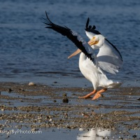 White Pelican Touch Down