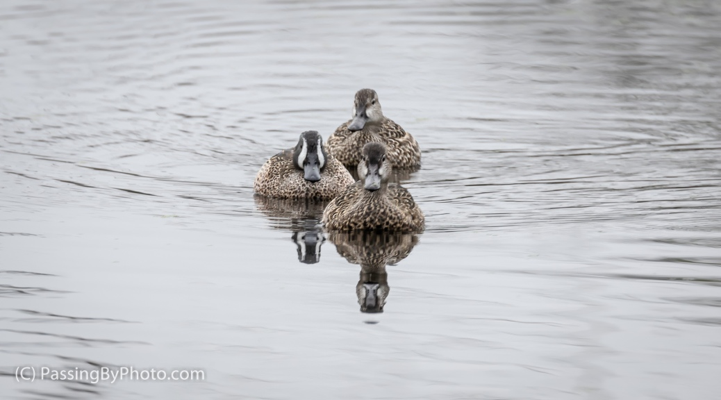 Blue-winged Teal Trio